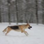 восточноевропейская овчарка бежит
