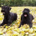 Два черных ризеншнауцера на листьях
