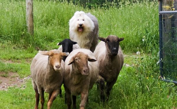 Бобтейл пастушья собака