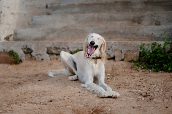Салюки зевает