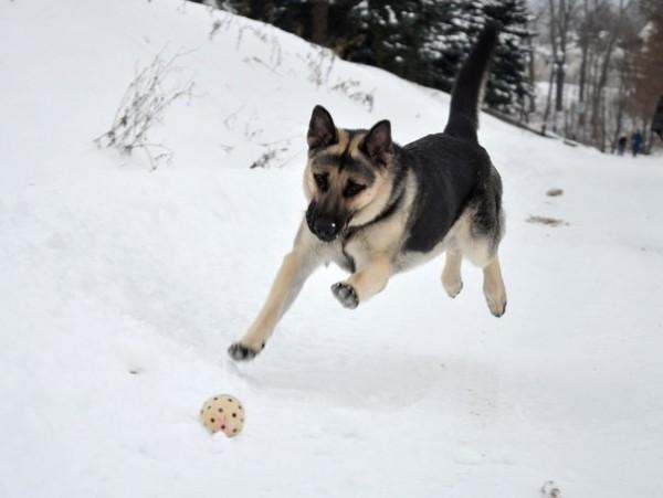 восточноевропейская овчарка играет с мячом