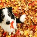 Бордер-колли в листочках осенью