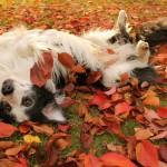 Бордер-колли валяется в листьях