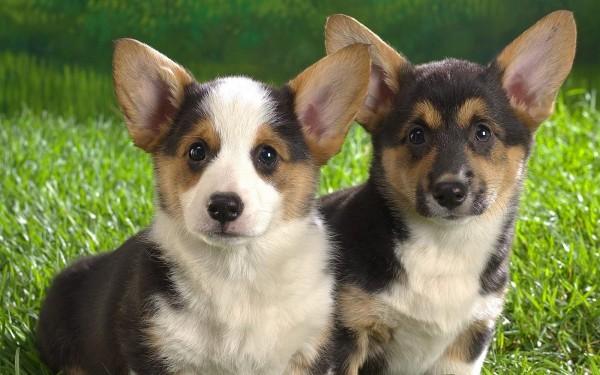 Вельшкорги фотографии собак породы Вельшкорги