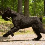 Черный ризеншнауцер бежит