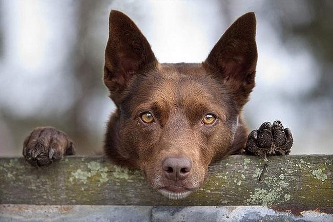 келпи фото собака