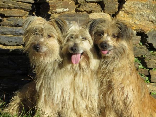 Три Пиренейские овчарки