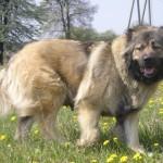 Кавказская овчарка длинношерстная