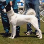 Ханаанская собака белая с черной маской