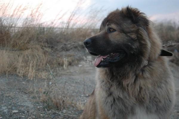 Кавказская овчарка портрет