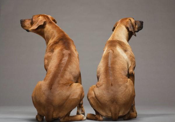 Родезийский риджбек: фото и характеристика породы собак