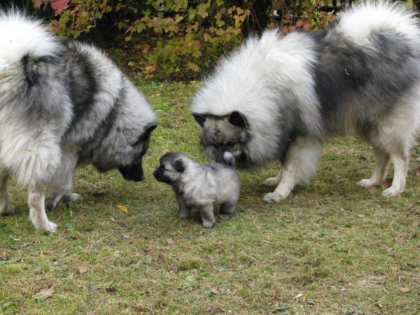 Два кеесхонда с щенком