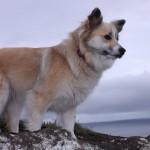 Исландская собака на берегу