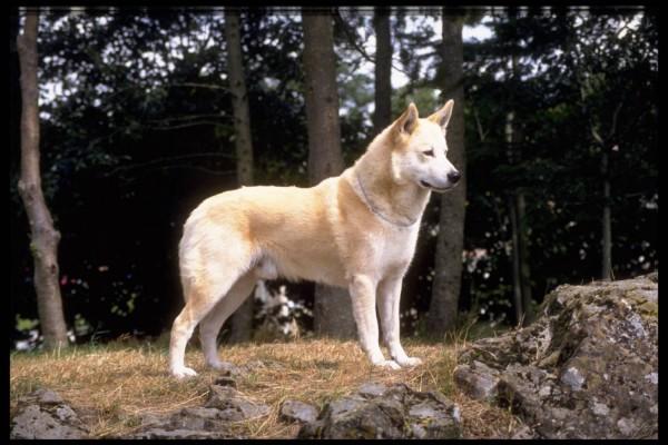 Ханаанская собака кремового окраса