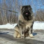 Кавказская овчарка зимой