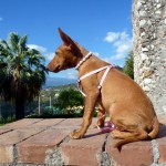 Чирнеко дель Этна в шлейке и бусах