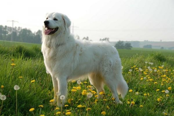 Словацкий чувач на цветущем лугу