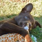 Щенок Австралийского келпи