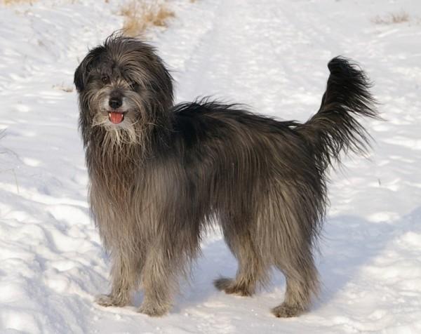 Пиренейская овчарка зимой