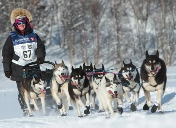 Гонки на собачьих упряжках с Сибирскими хаски