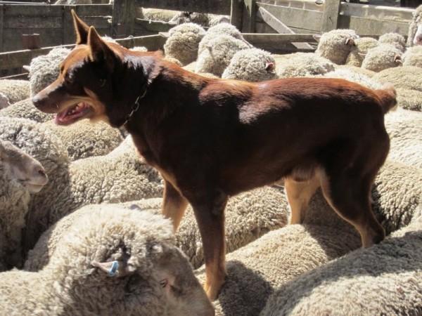 Австралийский келпи на спинах овец