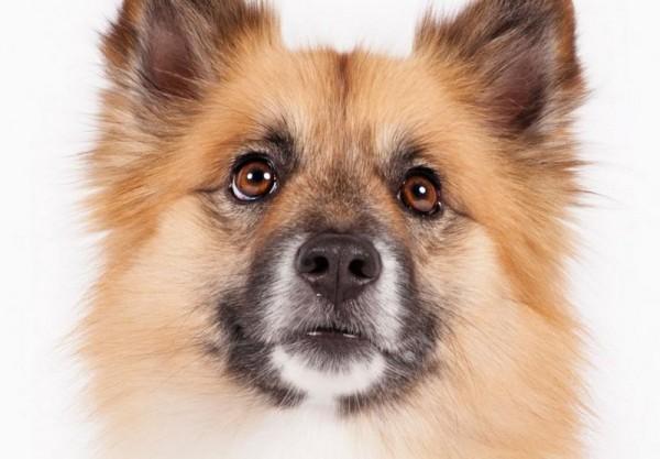 Исландская собака портрет