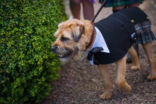 Бордер терьер на шотландской свадьбе в традиционном костюмчике