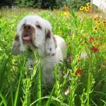 Кламбер-спаниель в цветочках