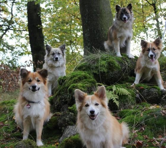 Семейство исландских собак
