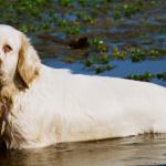 Кламбер-спаниель в пруду