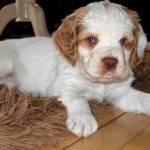Кламбер-спаниель щенок