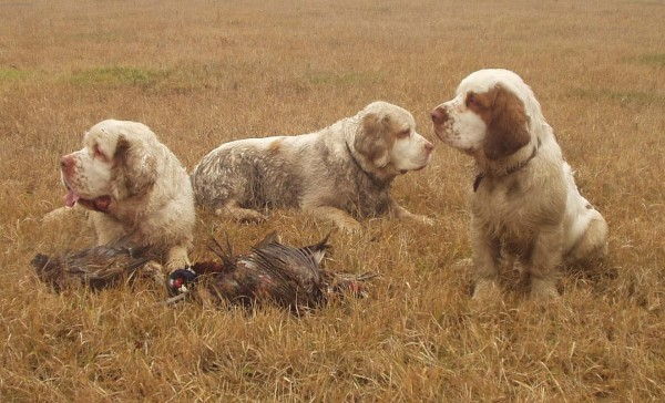 Кламбер-спаниели на охоте