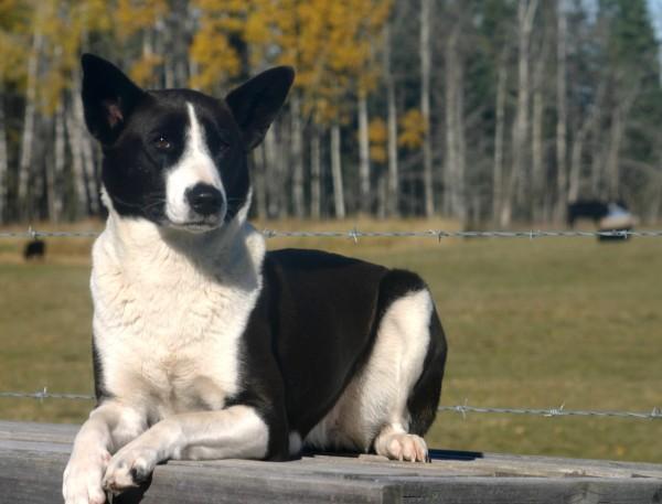 Ханаанская собака черно-белая