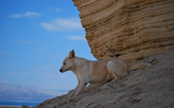 Ханаанская собака — унесенная ветром пустынь