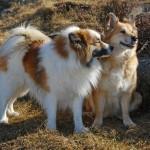 Две исландских собаки