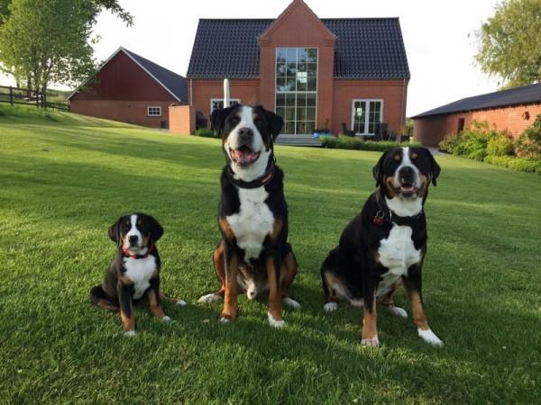 Семейство швейцарских зенненхундов
