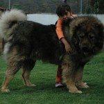 Кавказская овчарка с ребенком
