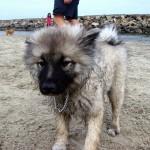 Мокрый щенок Кеесхонда