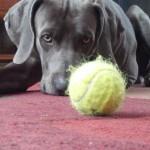 Веймаранер и мяч
