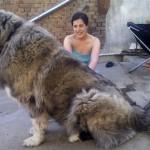 Кавказская овчарка с хозяйкой