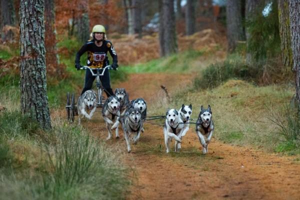 Езда на самокате с Сибирскими хаски