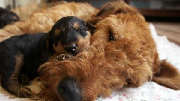 Эрдельтерьер со слепым щенком