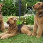 Три Эрдельтерьера отдыхают на лужайке