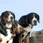 Три швейцарских зенненхунда