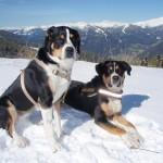 Два швейцарских зенненхунда в горах