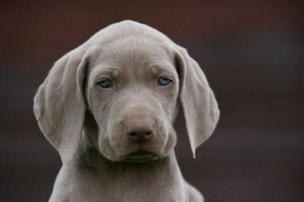Веймаранер грустный щенок