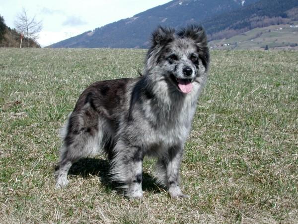 Пиренейская овчарка окраса мерло
