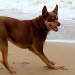 Австралийский келпи на пляже