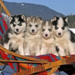 Щенки Сибирского хаски