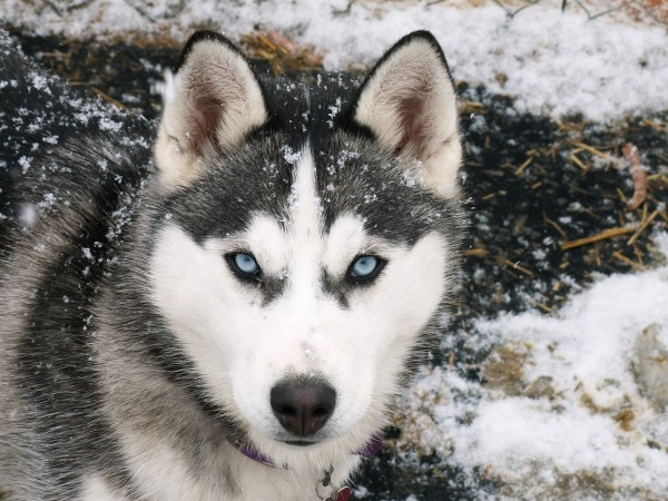 Сибирский хаски в снегу